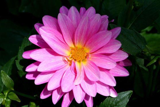 1024px-Beautiful-pink-flower_ForestWander