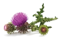 natural-medicine-milk-thistle